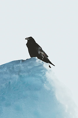Raven standing on top of an Iceberg in Greenland - p1634m2210366 by Dani Guindo