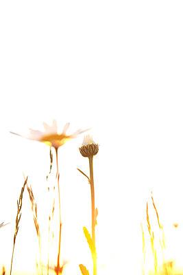 Margeritenblüten im Sonnenuntergang - p533m1474766 von Böhm Monika