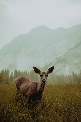 Deer in nature reserve, Yosemite National Park, California, United States - p924m2127228 by Peter Amend