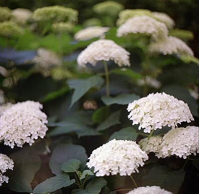 White hydrangea flowers - p1648m2260202 by KOLETZKI