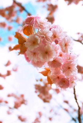 Kirschblüten - p5970056 von Tim Robinson