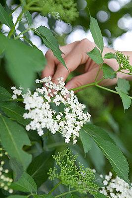 Holunderblüten - p441m886170 von Maria Dorner