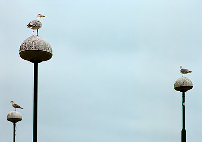 Seagulls on lampposts - p1132m1020480 by Mischa Keijser
