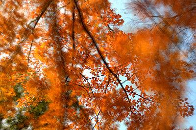 Herbstrot - p1496m1586743 von Johannes Pfahler