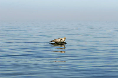 Lonely seal - p1650667 by Andrea Schoenrock