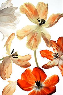 Tulips - p450m1559165 by Hanka Steidle