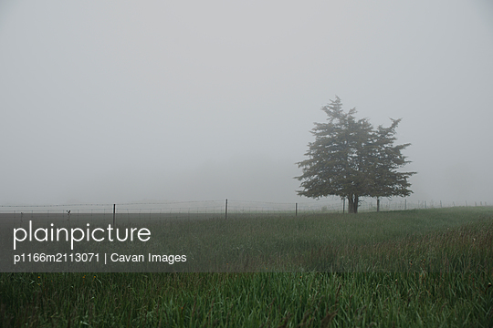 Lone tree in a grassy field on a foggy day. - p1166m2113071 by Cavan Images