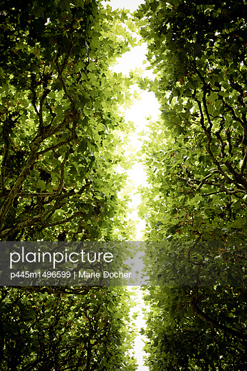 Canopy of leaves - p445m1496599 by Marie Docher