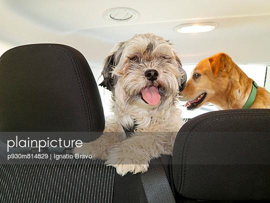 Dogs in a car - p930m814829 by Ignatio Bravo
