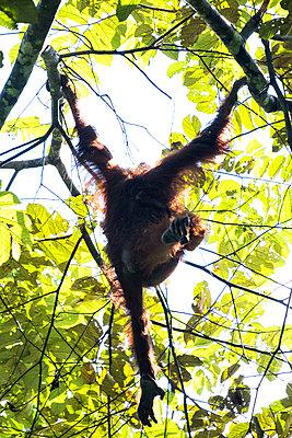Orang Utan auf einem Baum - p842m1558882 von Renée Del Missier