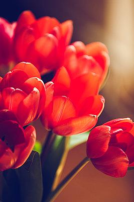Tulpen - p904m1020416 von Stefanie Päffgen