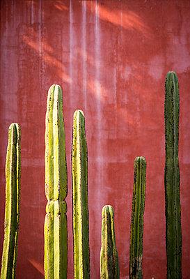 Organ pipe cactus, Mexico - p1170m1573324 by Bjanka Kadic