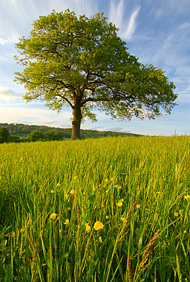 Solitary oak tree and wildflowers in field - p6441338 by Charles Bowman