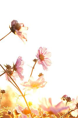 Malvenblüten im Gegenlicht - p533m1573833 von Böhm Monika