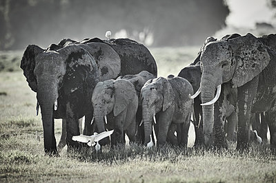 Elephant herd, Kenya - p706m2158426 by Markus Tollhopf