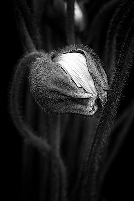 Budding poppy close-up - p977m1159485 by Sandrine Pic
