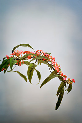 Branch covered in small pink flowers and leaves - p1047m899857 by Sally Mundy