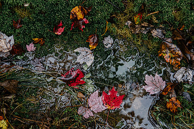 High angle view of maples leaves in puddle on grassy field during autumn - p1166m2066671 by Cavan Images