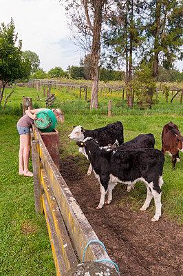 Girl feeding calfs - p1201m1040607 by Paul Abbitt