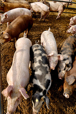 Pigs - p4910026 by Ernesto Timor