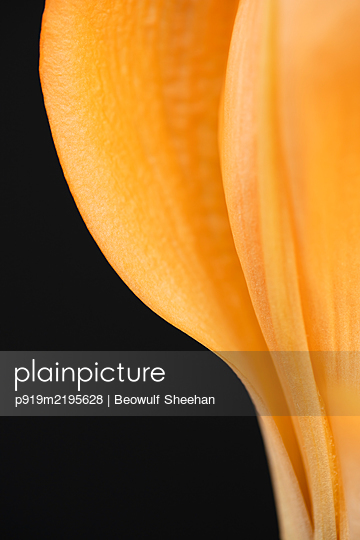 Detail of orange lily flower against black background - p919m2195628 by Beowulf Sheehan