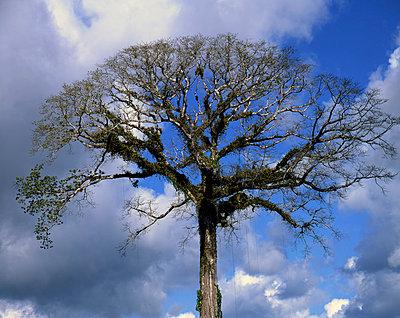 Baum auf Costa Rica - p1016m792573 von Jochen Knobloch