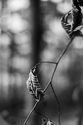 Dried leaves - p947m2209382 by Cristopher Civitillo