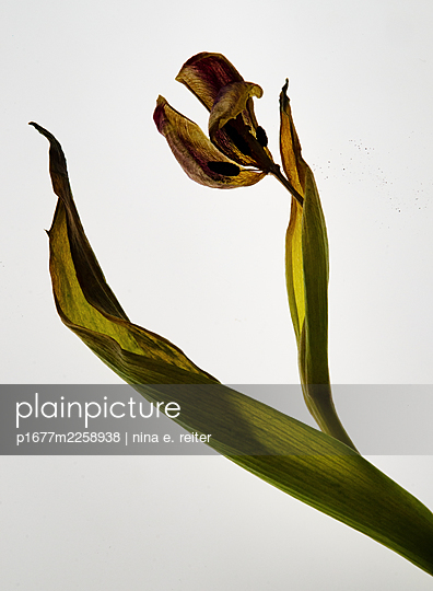 Withered tulip against white background - p1677m2258938 by nina e. reiter
