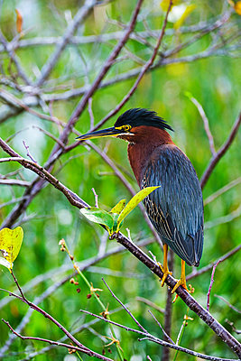 Green heron perching in tree - p1427m2186331 by Tetra Images