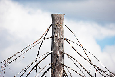 Trees OnClear-felled,Sawn-offTop (Träd på kalhygge, avsågad topp) - p847m673620 by Jerker Andersson