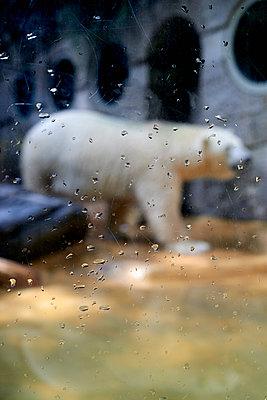 Eisbär im Zoo - p1164m1057999 von Uwe Schinkel