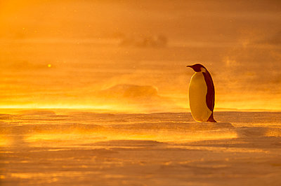 Emperor Penguin on ice at sunset, Queen Maud Land, Antarctica - p884m1135817 by Stefan Christmann