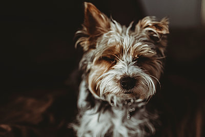 High angle close-up of Yorkshire Terrier sleeping at home - p1166m1416310 by Cavan Images