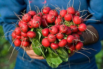 Fresh radishes - p1629m2211314 by martinameier