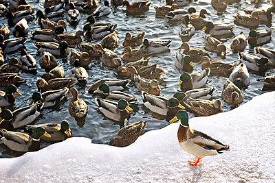 Ducks on lake - p31227363f by Alexander Crispin