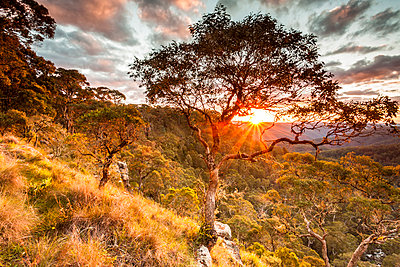Sunburst through trees. Guy Faulks River National Park, New England Tablelands, New South Wales, Australia - p651m2135720 by Richard Stanley