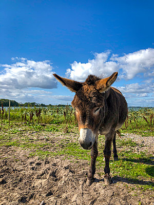 Donkey at the Baltic coast - p382m2283994 by Anna Matzen
