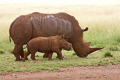 White Rhinoceros mother and calf - p884m864129 by Matthias Breiter