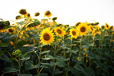 Close-up of sunflower growing outdoors during sunny day - p1166m2093974 by Cavan Images
