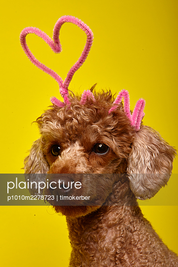 Poodle - p1010m2278723 by timokerber