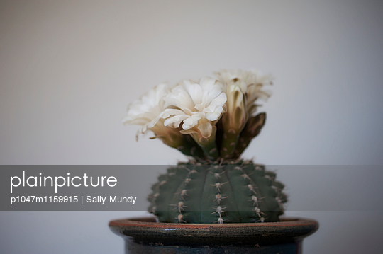 Flowering barrel cactus in plant pot - p1047m1159915 by Sally Mundy