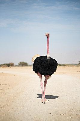 Portrait of ostrich - p1046m1138230 by Moritz Küstner