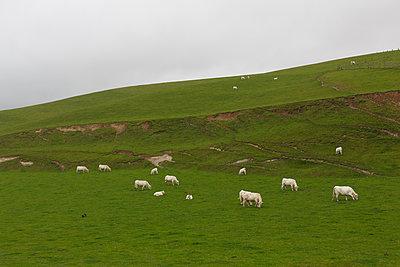 Weide mit weißen Kühen - p228m1083825 von photocake.de