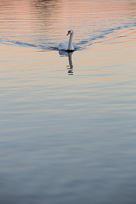 A pure white swan floating on a river with reflection in the rippling water. - p1057m2020710 by Stephen Shepherd