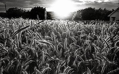 Cornfield with rising sun - p816m1032214 by Krogh, Tarjei E