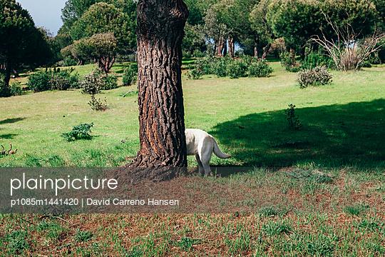 Golden Retriever versteckt sich hinter Pinienbaum - p1085m1441420 von David Carreno Hansen
