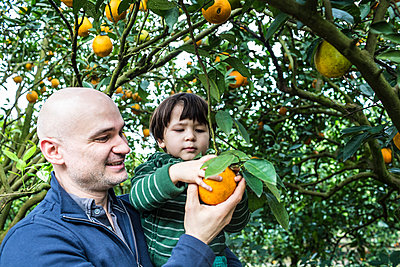 Picking Oranges - p535m965950 by Michelle Gibson