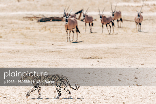 Leopard und eine Herde Oryxantilopen, Kalahari, Afrika - p1065m982589 von KNSY Bande