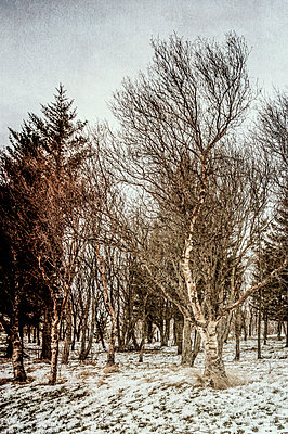 Silver birch trees in a snowy field - p1047m1119403 by Sally Mundy