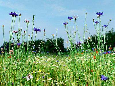 Wild flowers - p1132m1016966 by Mischa Keijser